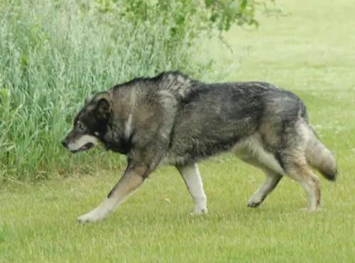 Fotografía de un perro lobo