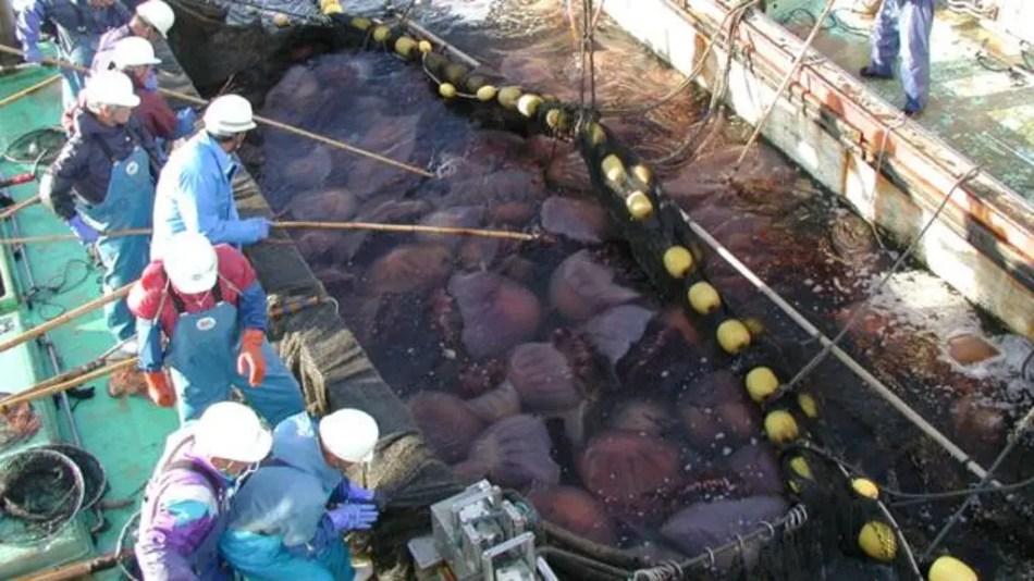 Fogtografía de un grupo de trabajadores limpiando las nomuras, las medusas gigantes del Japón.