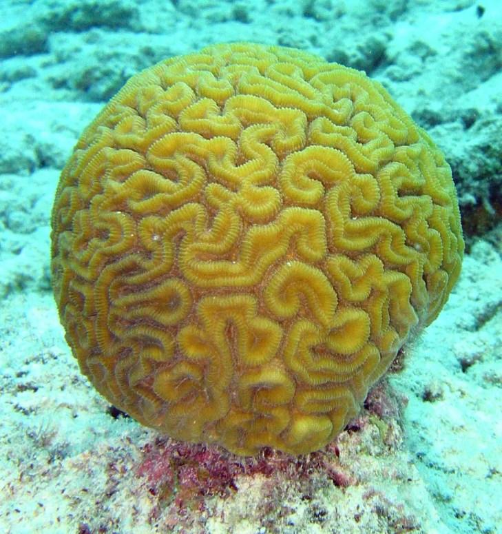 Coral cerebro del tipo Diploria labyrinthiformis.