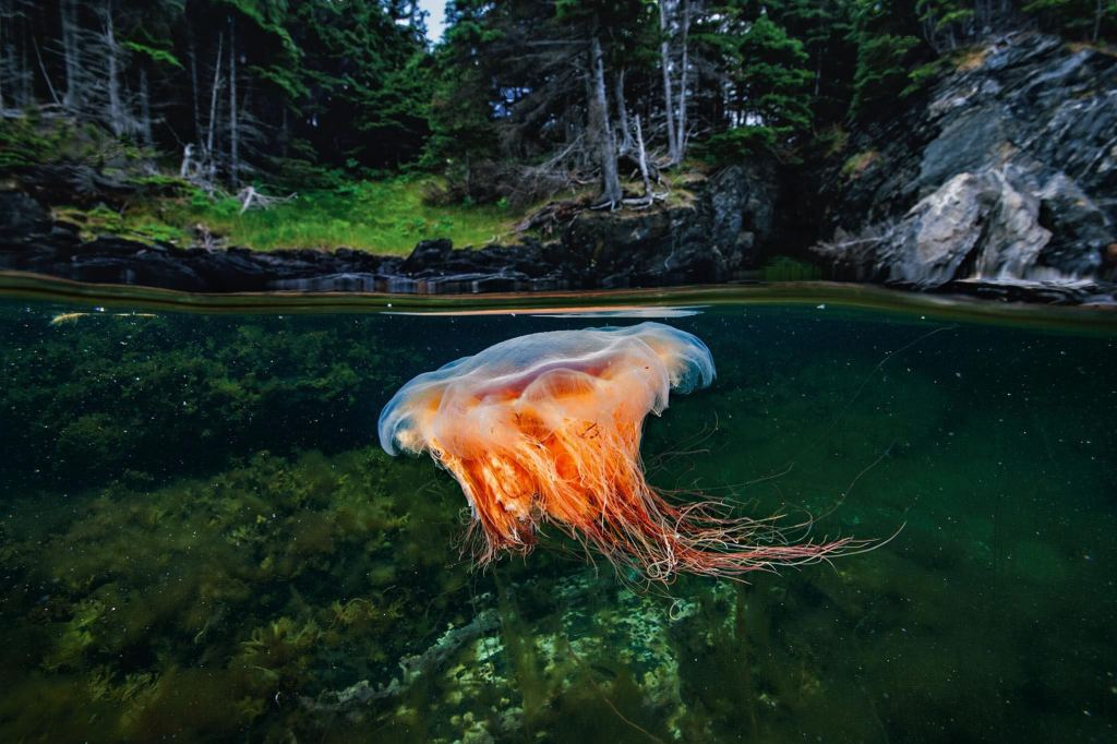 Medusa sumergida.