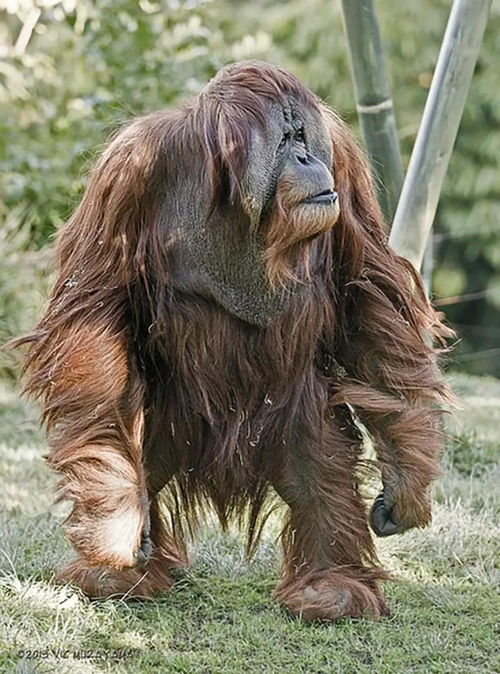 Fotografía de un orangután caminando.