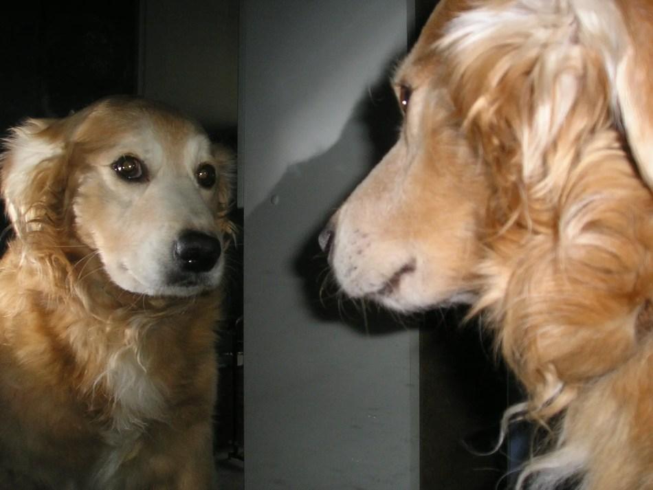 Fotografía de un perro viéndose al espejo.