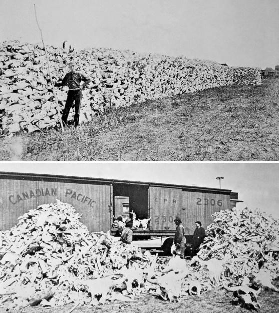 Dos gfotografías mostrando miles de cráneos de bisontes y los trenes utilizados para transportarlos.