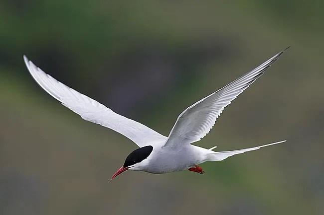 Gaviotín del ártico en pleno vuelo en uno de sus tantos viajes.