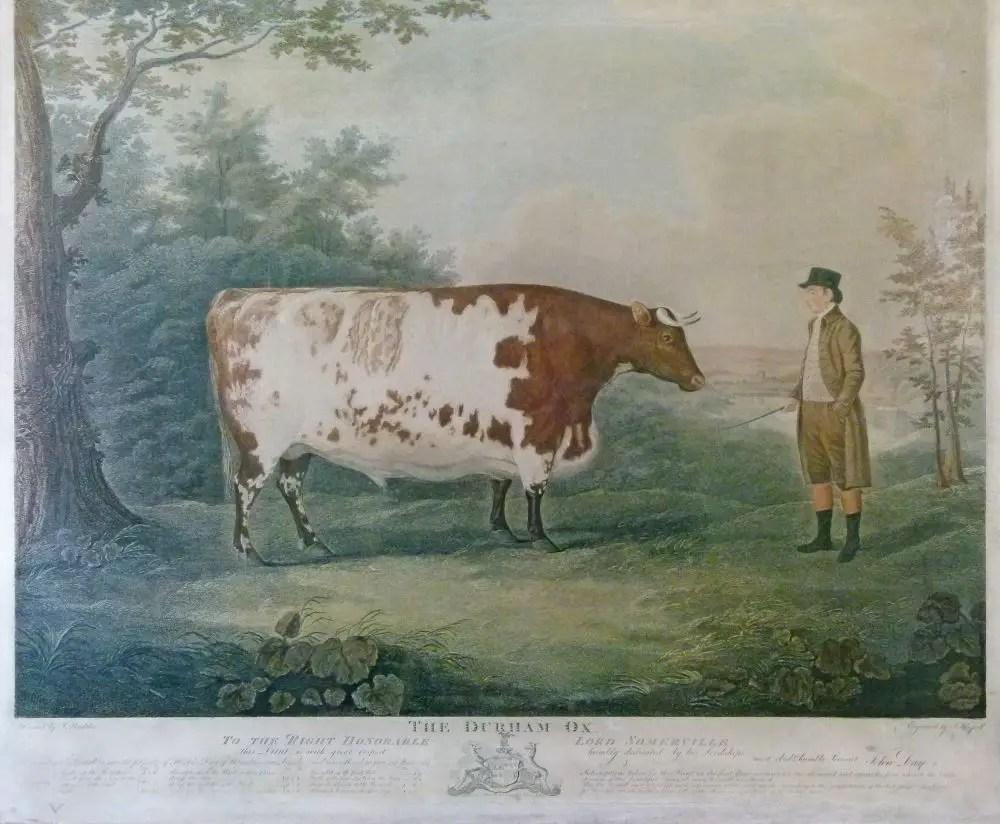 El buey de Durham pastando junto a su cuidador.