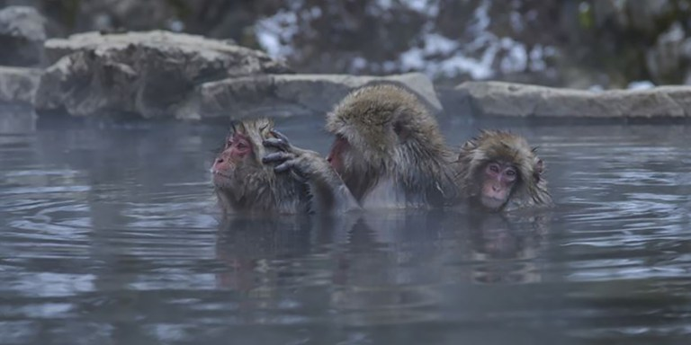 Los monos de la nieve japoneses que disfrutan de las piscinas termales