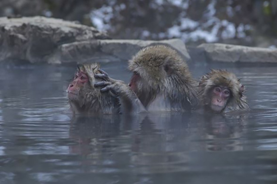 Tres monos de la nieve acicalándose mientras disfrutan de las aguas termales.