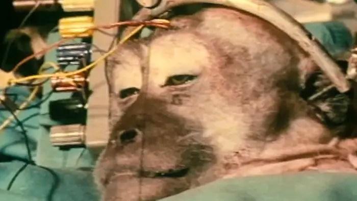 Mono con su cabeza trasplantada.