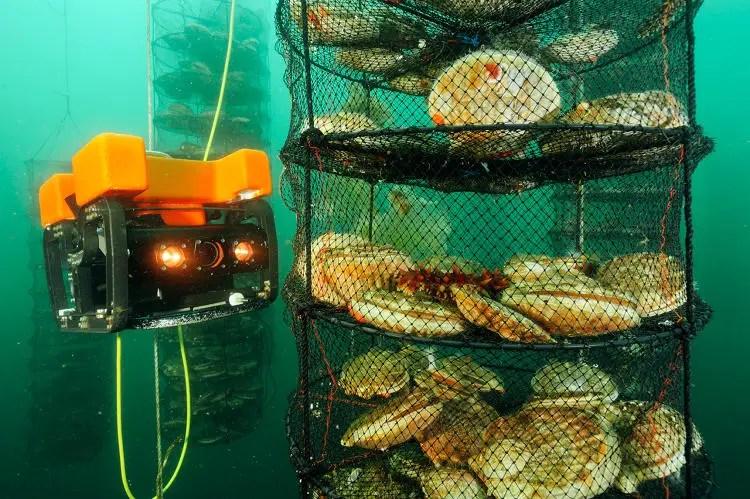 Dron submarino investigando los cultivos de vieiras japonesas de la compañía Sea Vision.