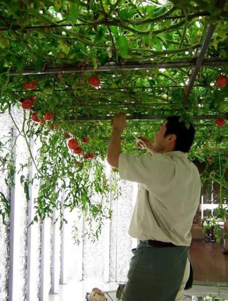 Hombre recolectando tomates en una de las varias granjas subterráneas.