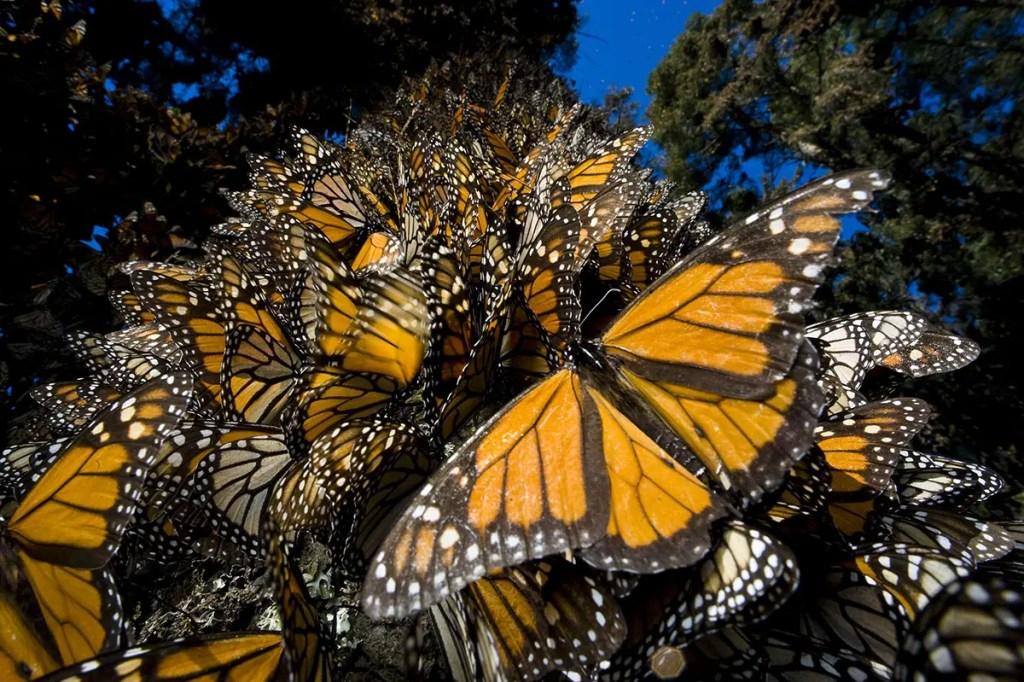 Miles de mariposas monarcas cubriendo un árbol por completo en Sierra Chincua.
