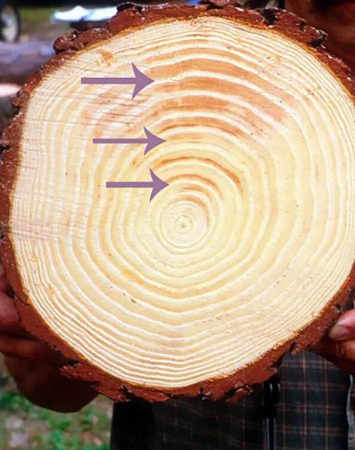 Características de la madera de un tronco de árbol de pino.