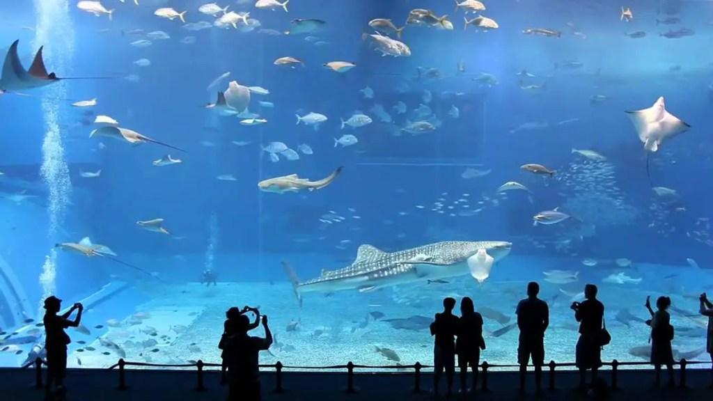 Vemos varias especies de peces rayas y un tiburón ballena, escenas cotidianas en el tanque Kuroshio Sea.