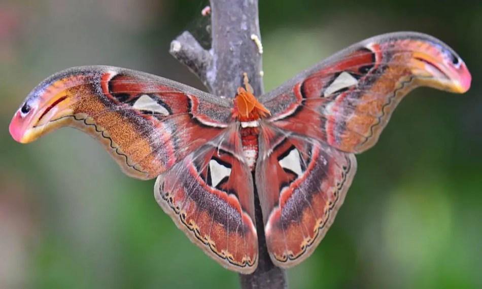 Los extremos de las alas de la Attacus Atlas, la mariposa más grande del mundo.