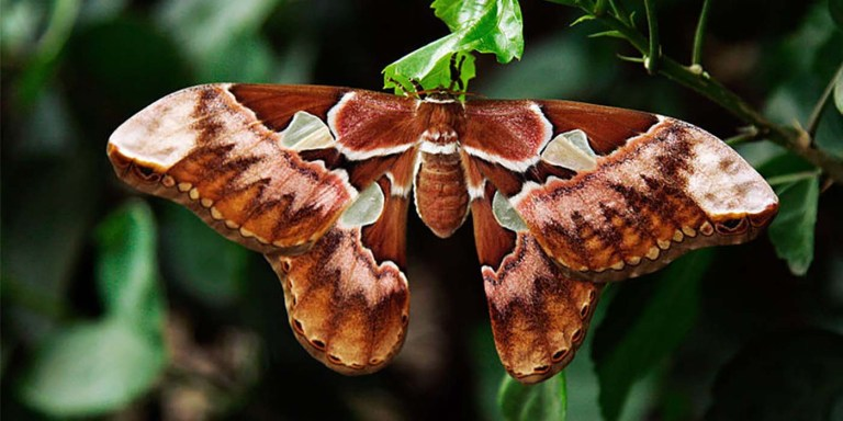 La colosal Attacus Atlas, la mariposa más grande del mundo