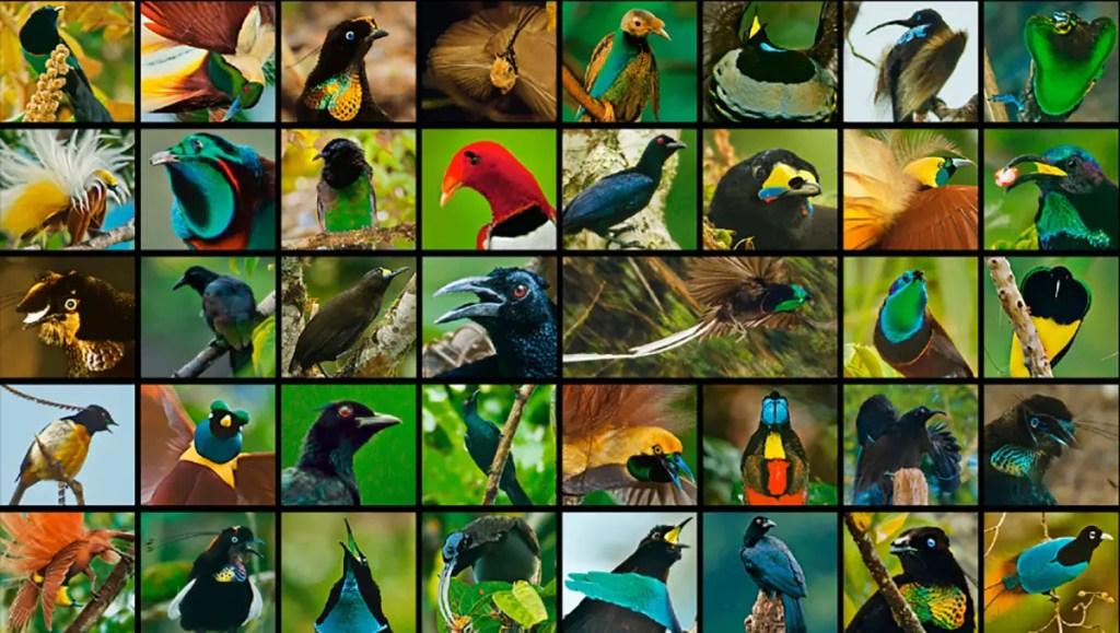 Guía visual de las 39 especies de aves del paraíso.