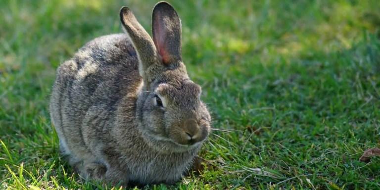El hombre que por error erradicó a los conejos europeos
