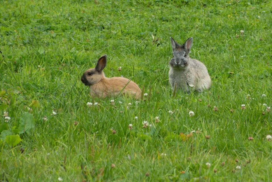 Dos conejos europeos en la pradera.