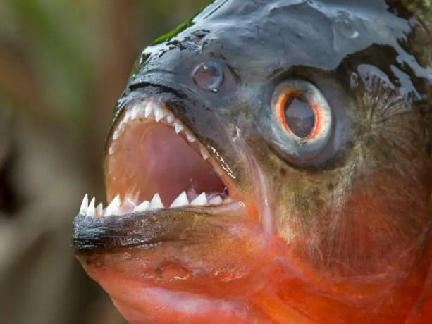 Detalle de la boca de las pirañas.