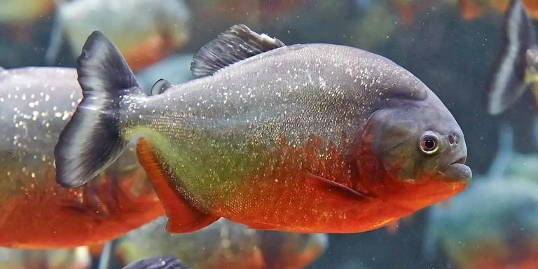 Perfil de dos pirañas en un acuario.