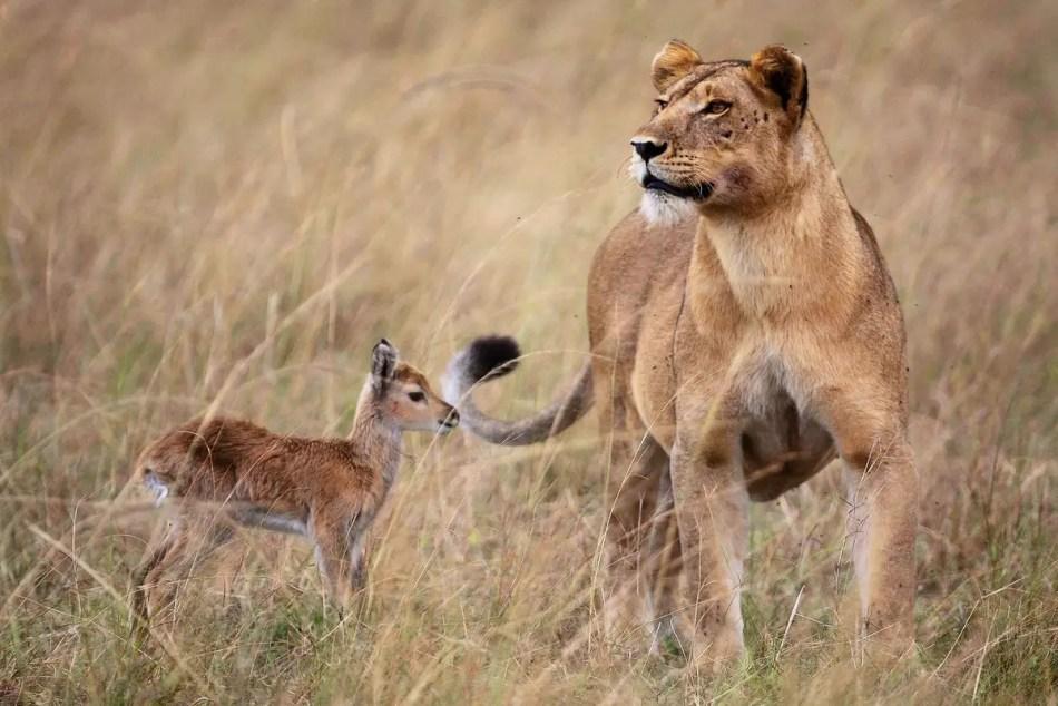 Madre leona famosa por haber adoptado a un animal fuera de su especie en uno de los mejores casos de adopción animal.
