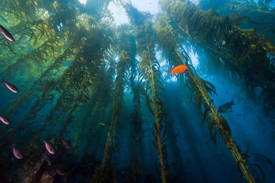 Bosque sumergido de algas laminariales vistas desde el lecho marino, uno de los bosques sumergidos más espectaculares.