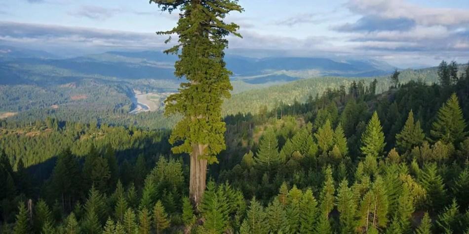 Hiperión, el árbol más alto del mundo.
