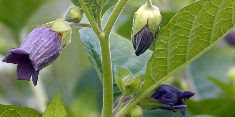 La belladonna, la flor utilizada como cosmético que es venenosa