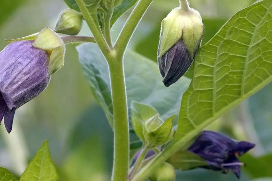 Flor de la Belladonna, la planta venenosa utilizada con fines cosméticos.