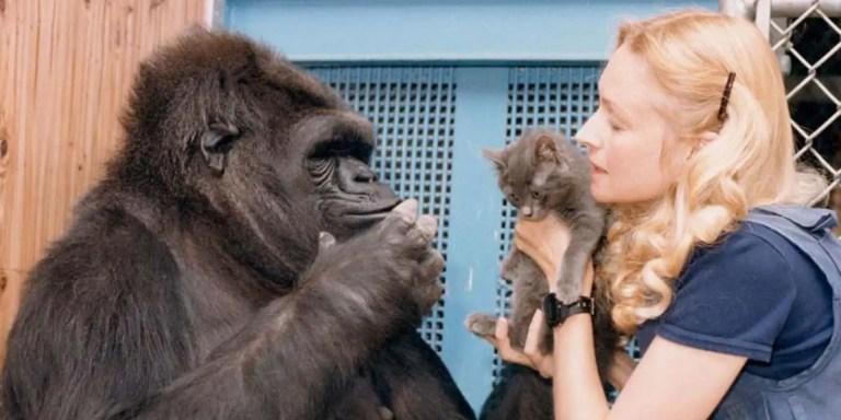La gorila Koko, un gatito y su cuidadora.