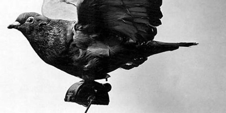 Las palomas espías de 1903, los primeros drones espía