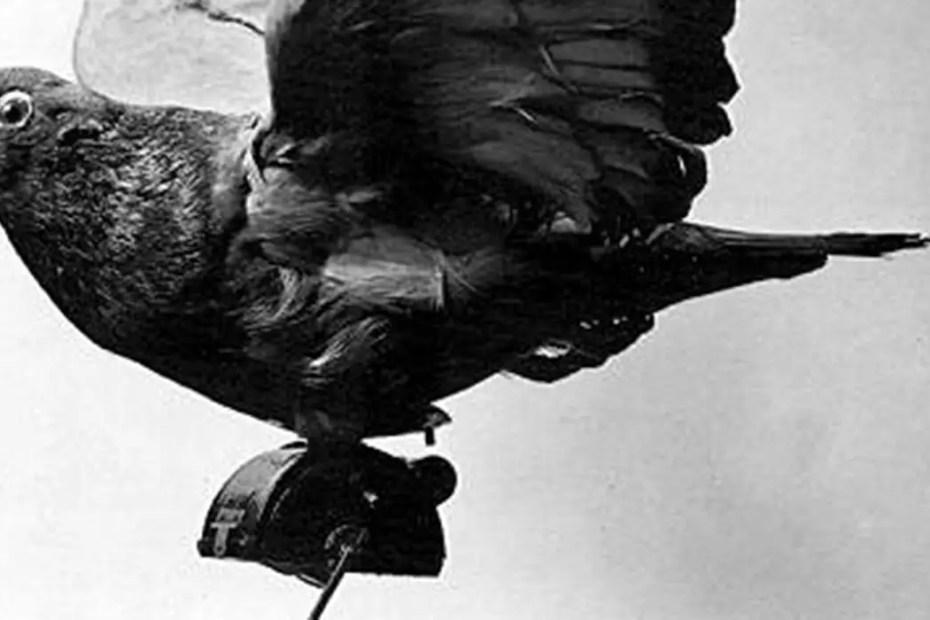 Detalle de una de las palomas espías prusianas de principios del siglo XX.