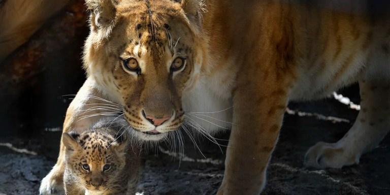 Tigresa con su cría.