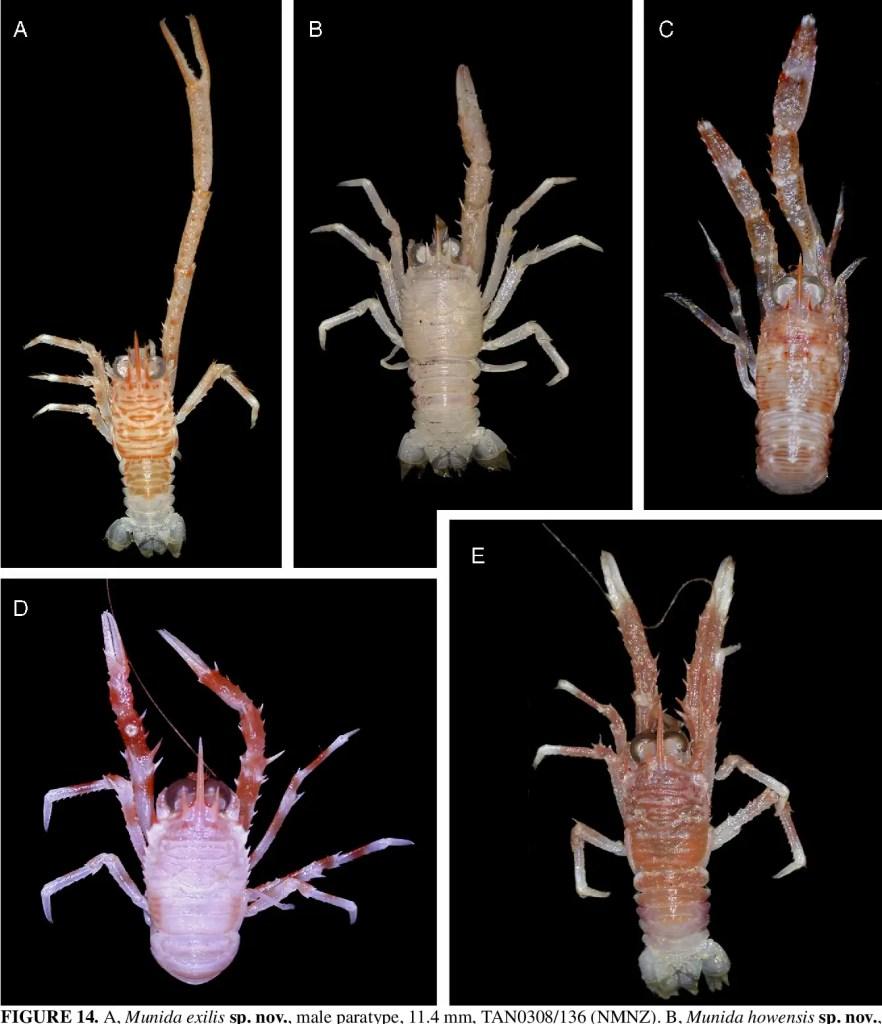 Crustáceos Munida Exilis recolectados durante la misión NORFANZ.