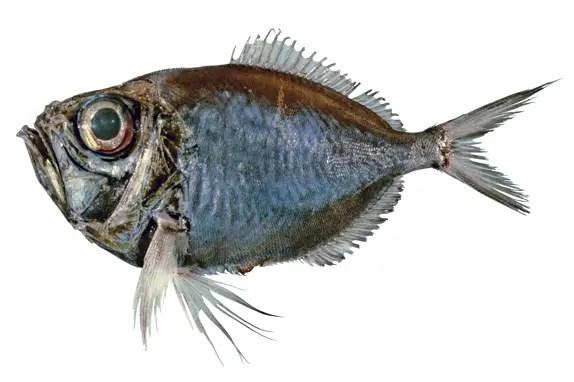 Un pez de la especie Diretmichthys parini.