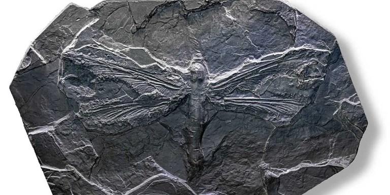 Fósil de una Meganeura monyi en el Museo de Toulouse.