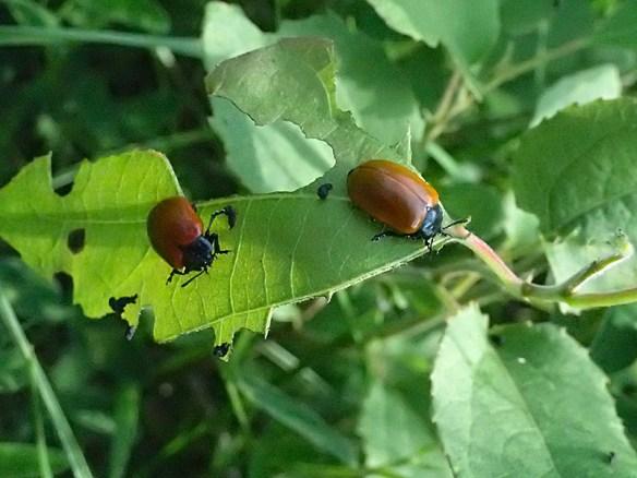 Aspglansbaggar. Foto: Karin Hendahl