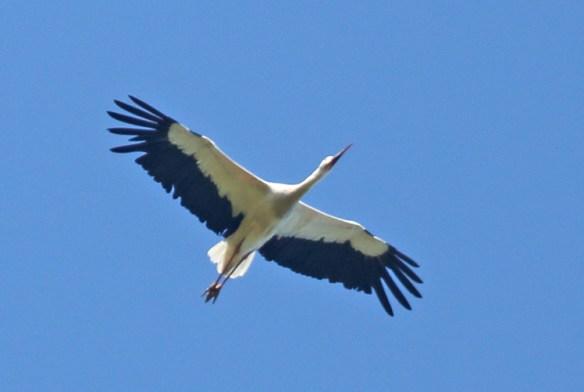 Vit-stork-130802-DH