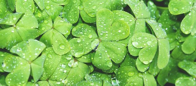 Patch of Shamrocks