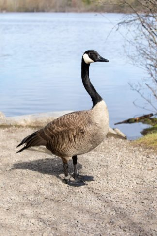 Adult Canada goose standing on gravel near a lake