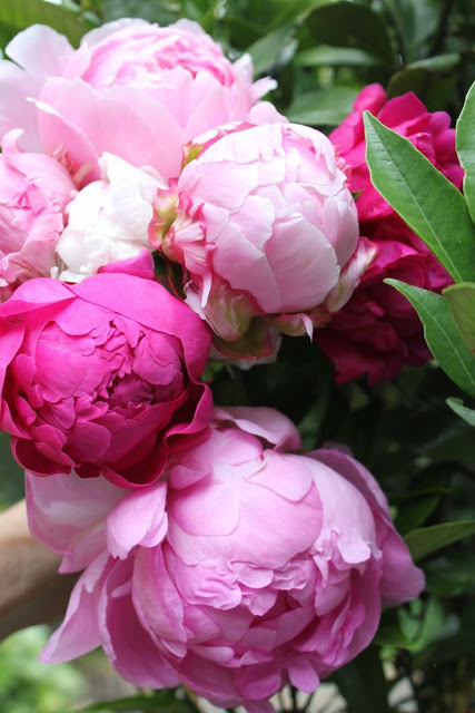 Bursting-Peonies