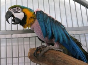 Available for Adoption – Angel Wings Parrot Rescue