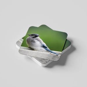 Fledged Blue Jay coasters