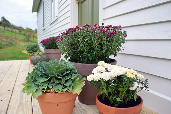 Decorating A Stoop For Fall With Mums And Cabbage