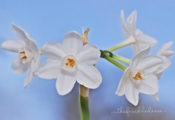 Paperwhites grown winter 2014