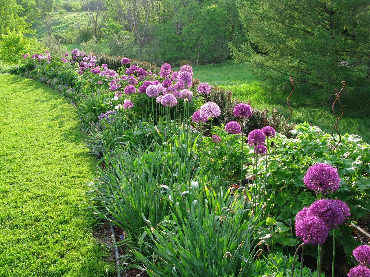 Charmant A Beginners Guide To Alliums | Angiethefreckledrose.com