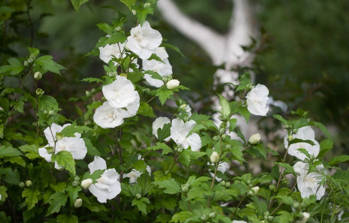Swing Into Summer With Rose Of Sharon