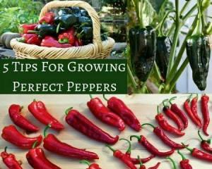How To Grow Elephant Garlic | angiethefreckledrose.com
