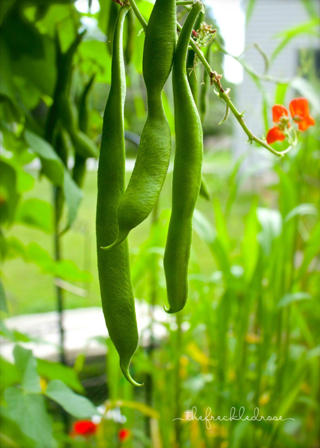 Guide To Growing Runner Beans Angie The Freckled Rose