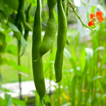 How To Grow Scarlet Runner Beans
